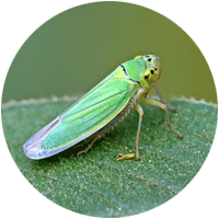 Close up of a green bug, the leafhopper, on a leaf.