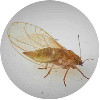 Close up of a psyllid which has strong jumping legs, short antennae and wings.