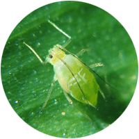 "Close up of small green aphid bug with a pear-shaped body, long antennae in the front and two short ""tailpipes"" in the rear."