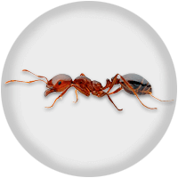 Close up of fire ant that shows a side view of each part of the body, including antennae and legs.