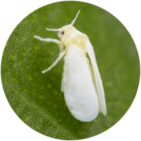 Close up of a whitefly which has an over-shaped body and two pairs of wings, resembling a white moth, landed on a leaf.